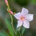 Oleander again...