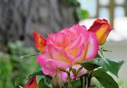 9th Jun 2021 - Colorful Rose