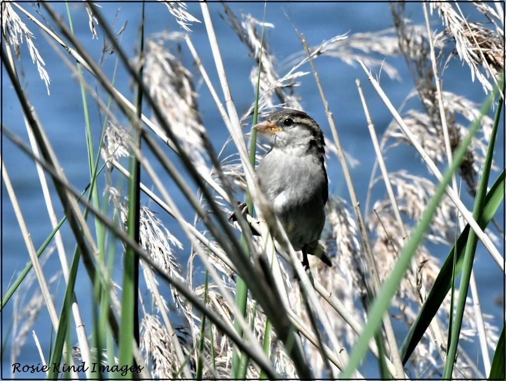 Little reed warbler by rosiekind
