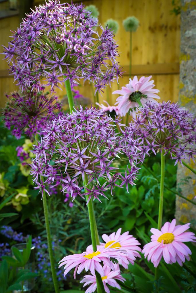 Allium Burst by phil_sandford