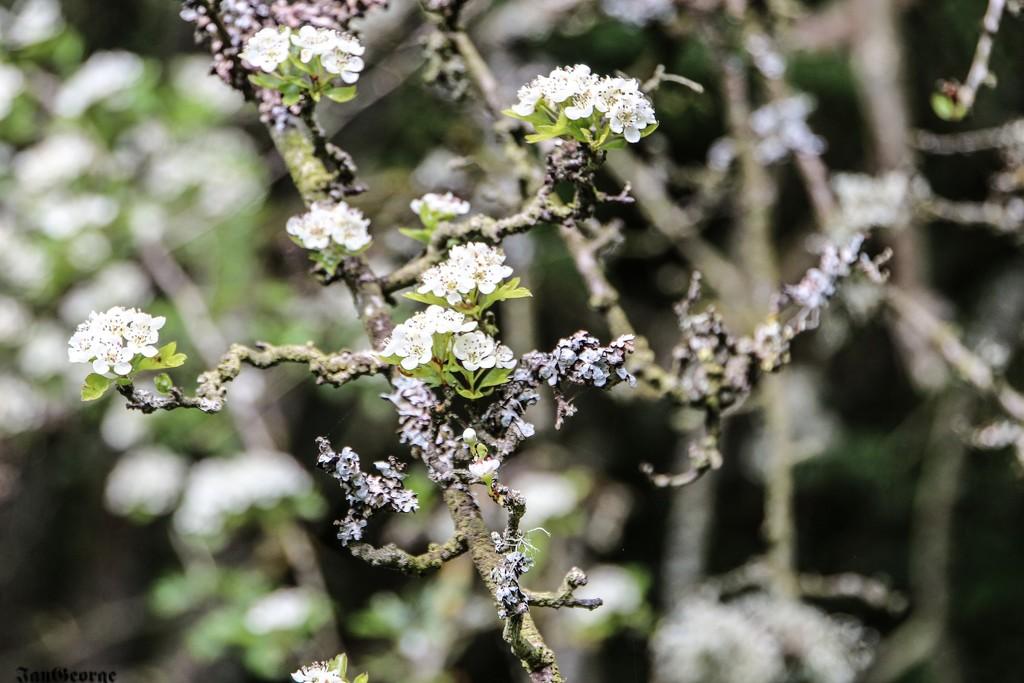 Hawthorn and Lichen by nodrognai
