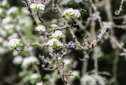9th Jun 2021 - Hawthorn and Lichen