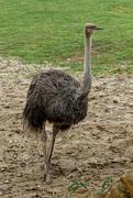 3rd Jun 2021 - 0603 Ostrich