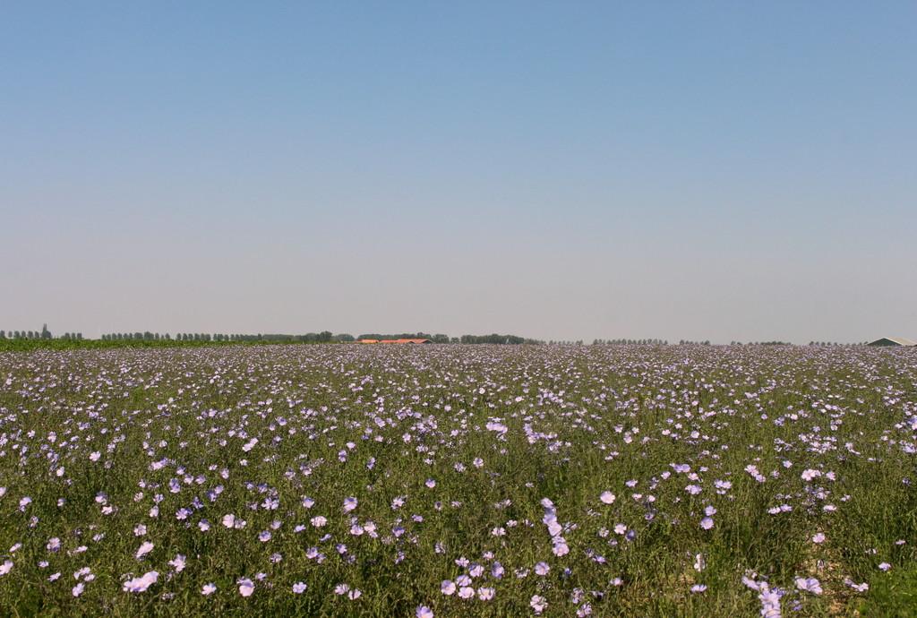 Flax  by pyrrhula