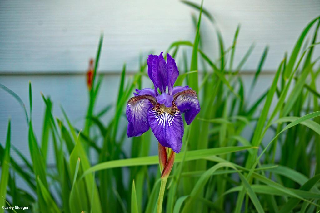 Last Iris standing by larrysphotos