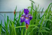 9th Jun 2021 - Last Iris standing