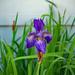 Last Iris standing