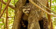 9th Jun 2021 - Rocky Raccoon, Checking if the Path Was Clear!