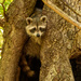 Rocky Raccoon, Checking if the Path Was Clear!
