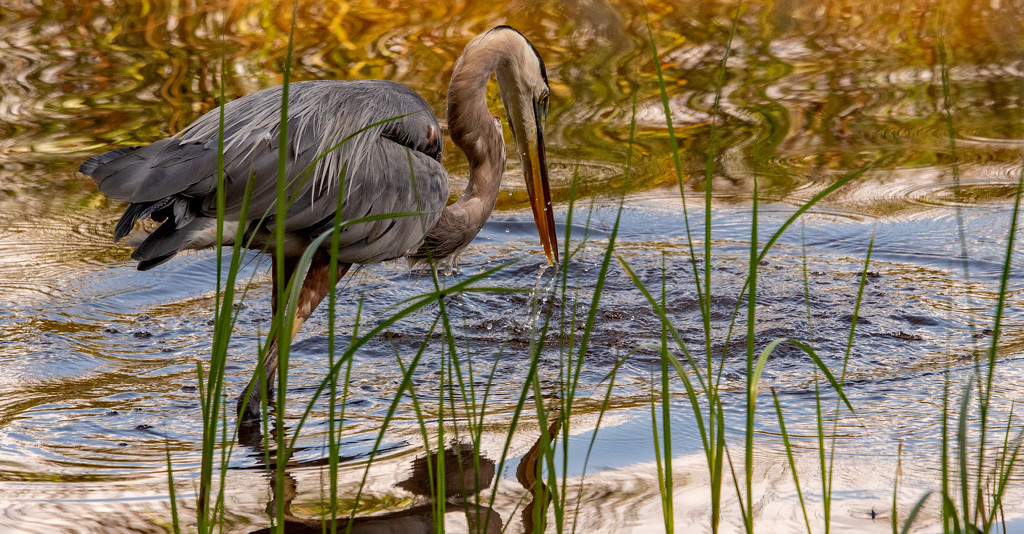 Blue Heron After the Miss! by rickster549