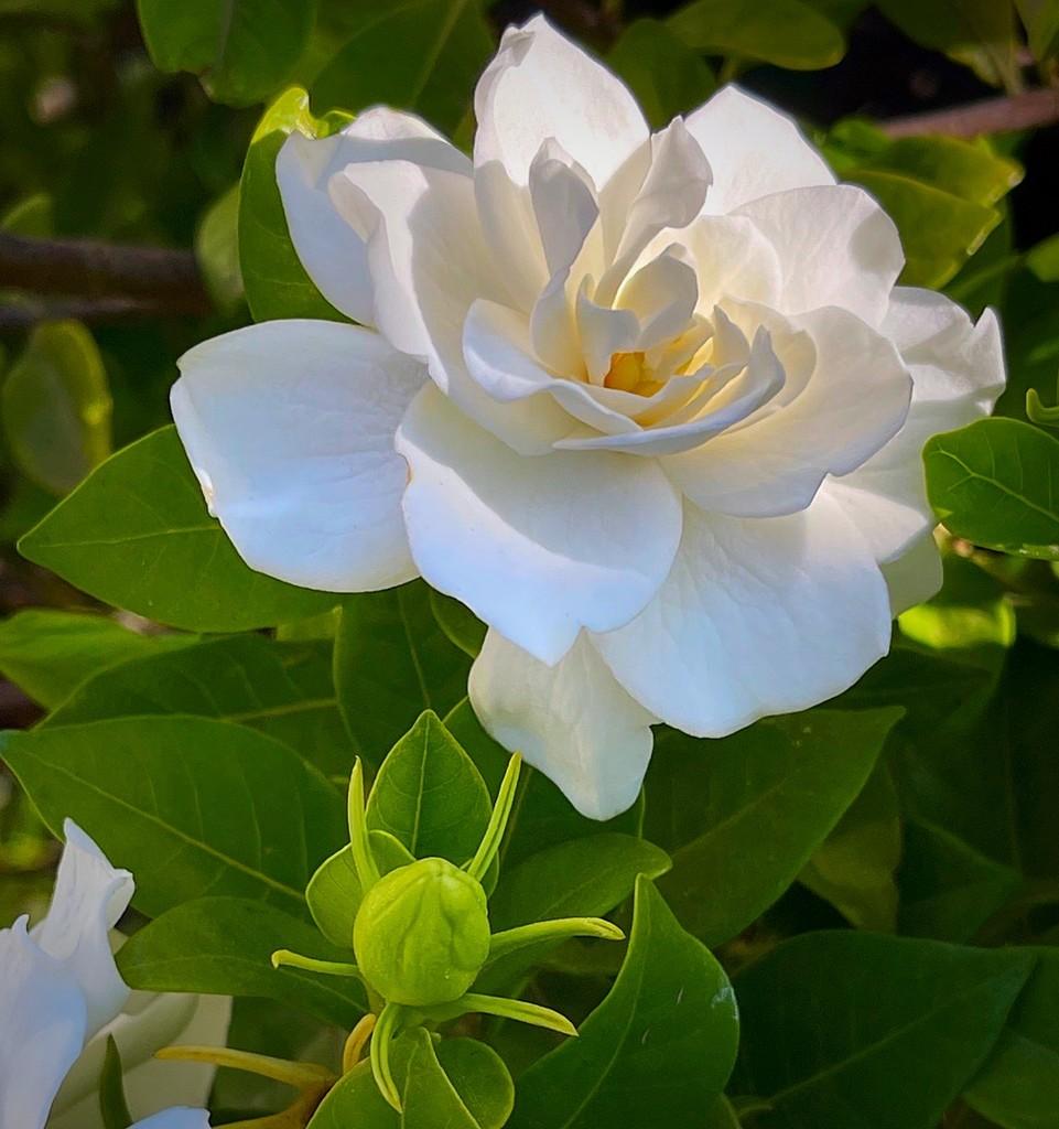 A Gardenia by gardenfolk