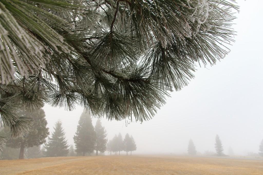 Hoar frost forest by kiwinanna