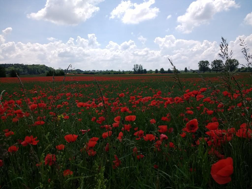 Poppy field by marvelie