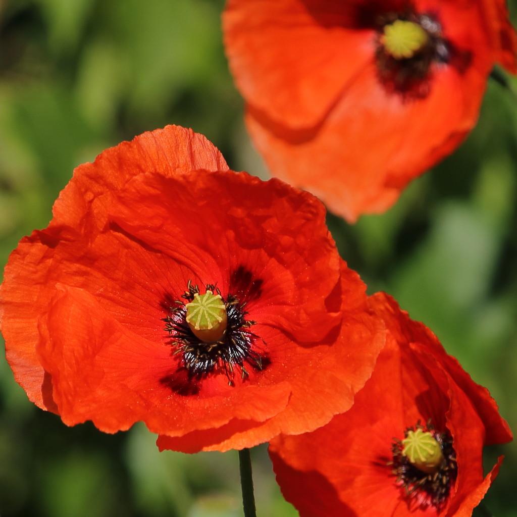 Poppies - Conventionally by aleksanderrzyman