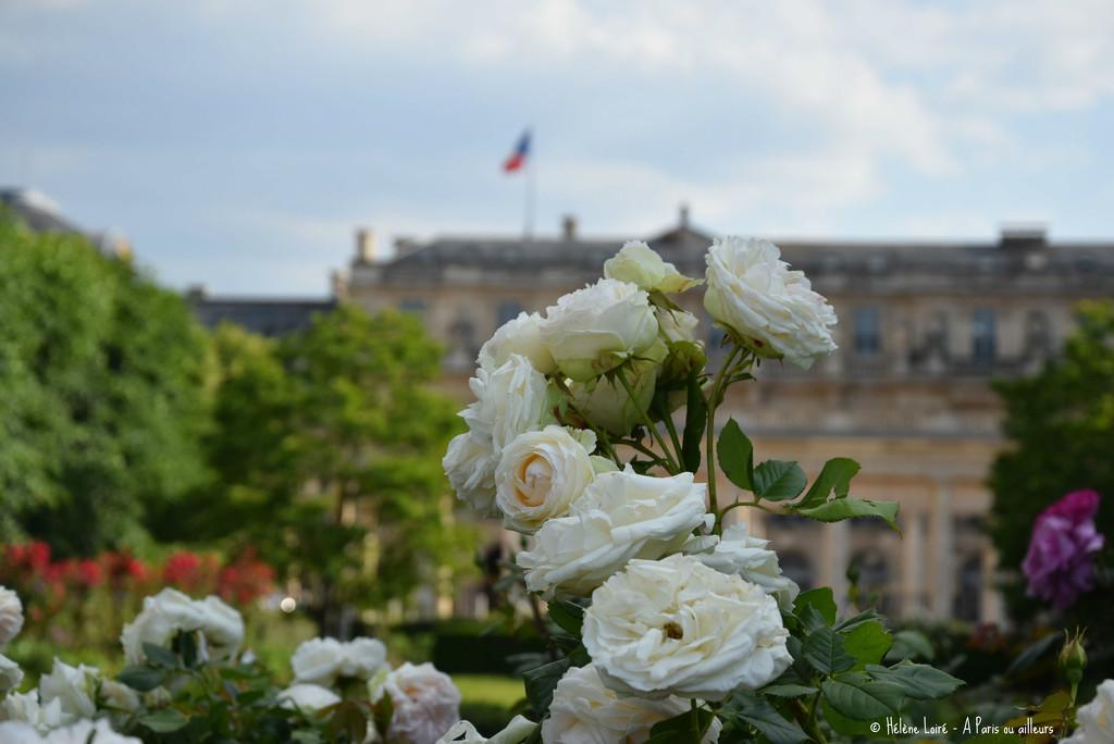 roses in Palais Royal garden by parisouailleurs