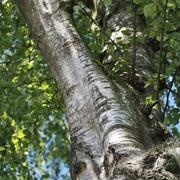 10th Jun 2021 - Birch tree
