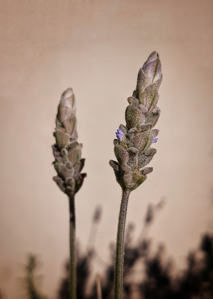 Lavender buds by salza