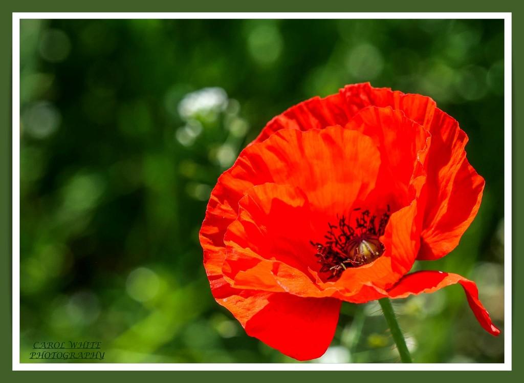 Poppy And Bokeh by carolmw