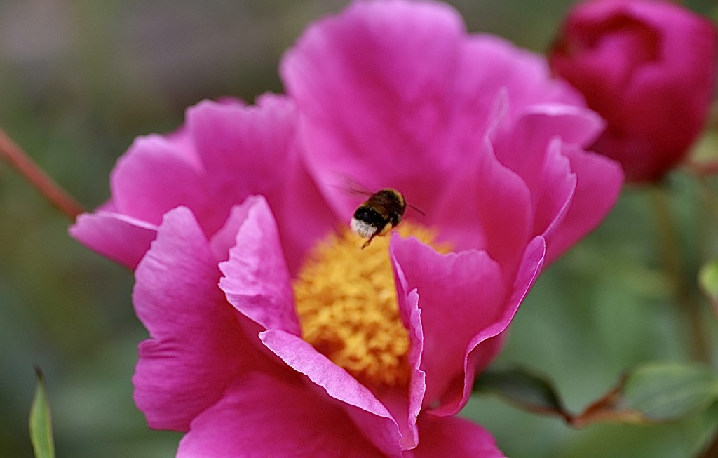 The Peony & the Bee by carole_sandford