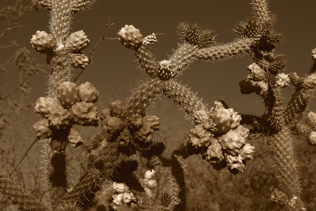 chain link cholla by blueberry1222