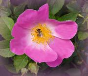 7th Jun 2021 - Wild Rose