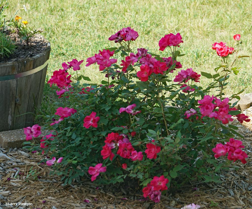 Pink rose bush by larrysphotos