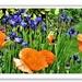Iris and poppies
