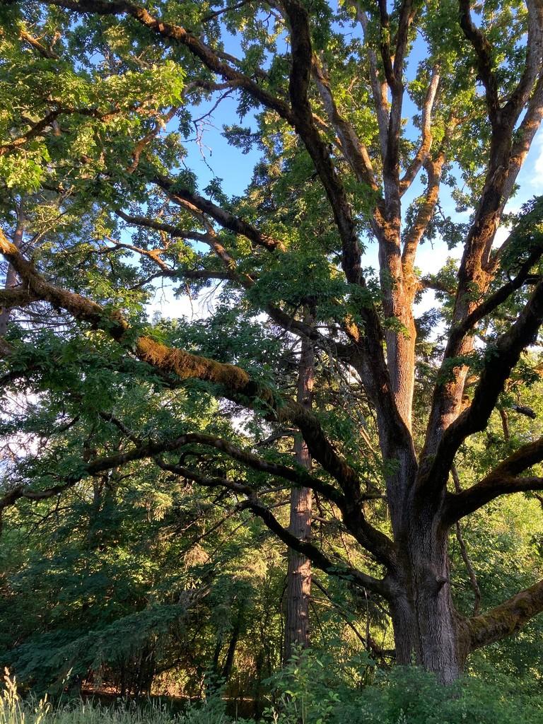 white oak by iris52