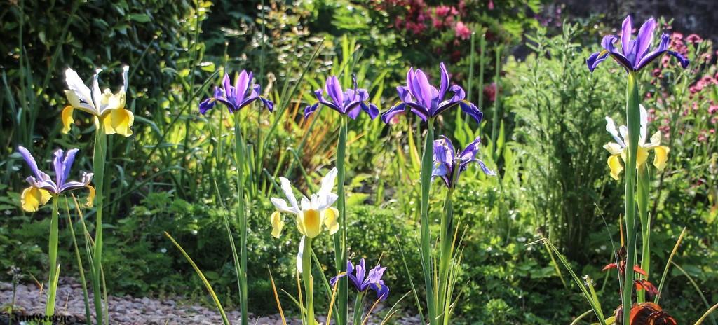 Irises in the Sunlight by nodrognai