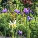 Irises in the Sunlight