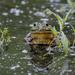 Hi, Beaver Island Frog!
