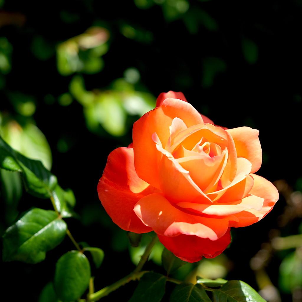 A Peachy Garden Rose by redy4et