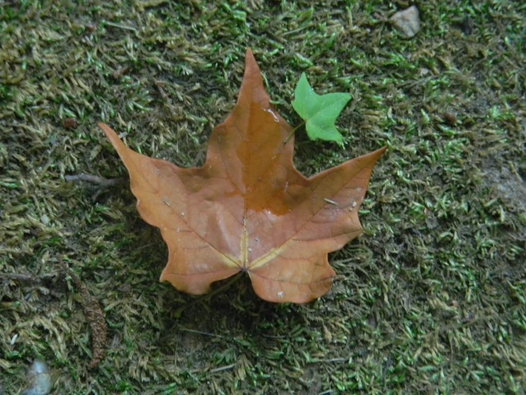 Maple Leaf on Ground by sfeldphotos