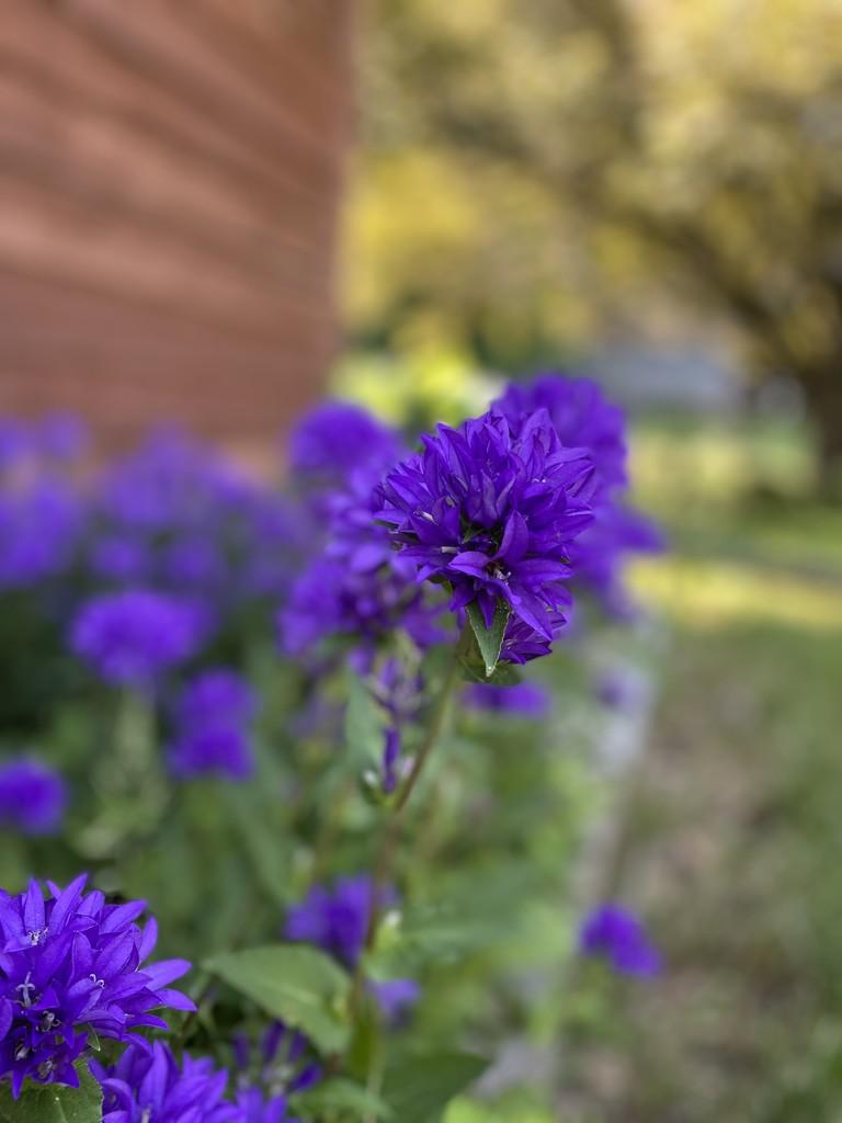 The chorus of purple by mphillis