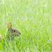 Swamp rabbit