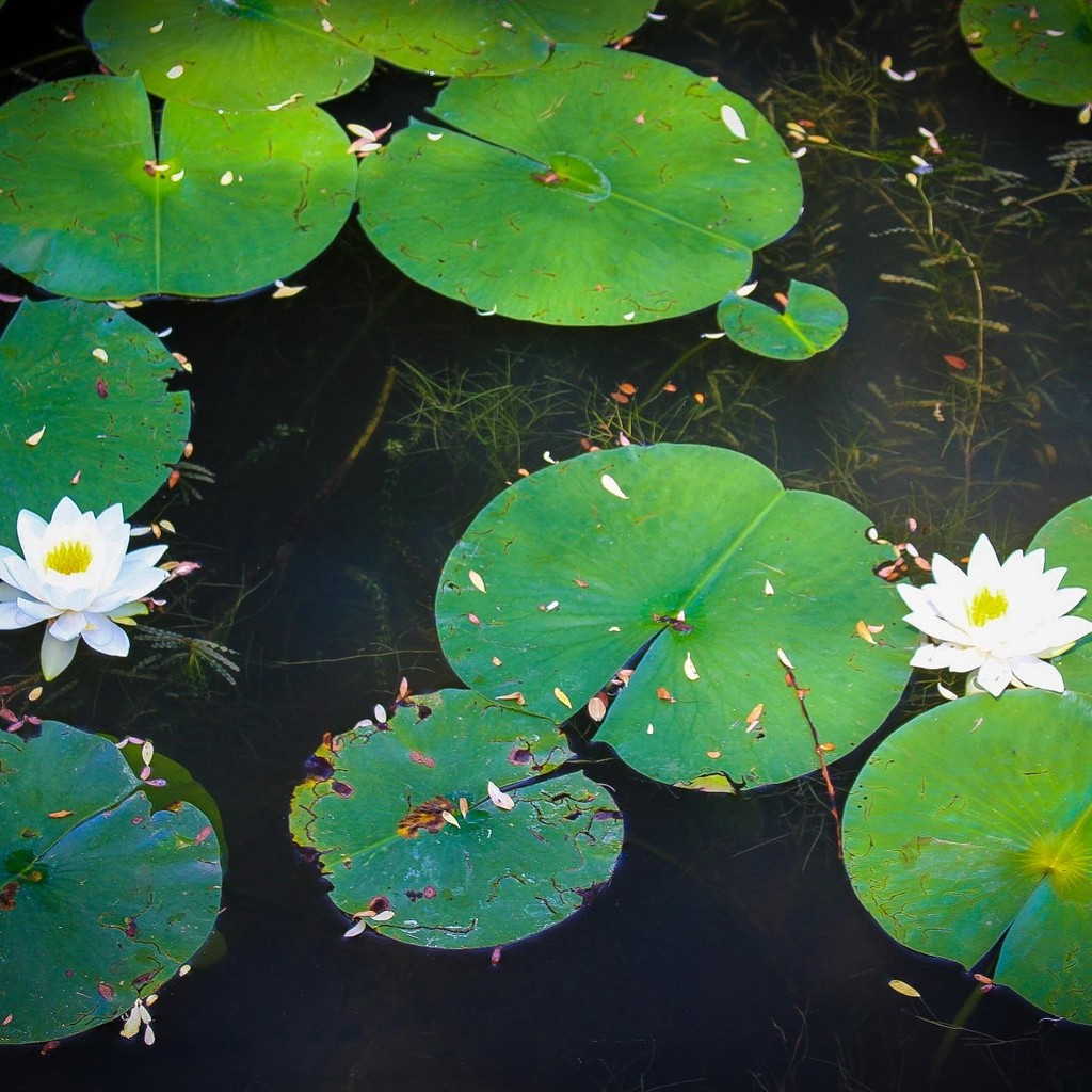 Water Lilies by cashep19