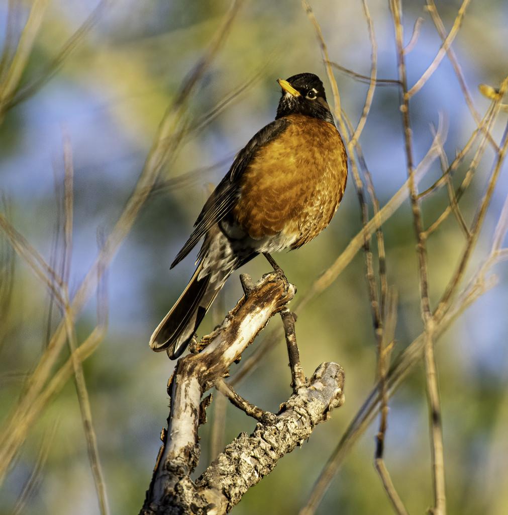 Robin by jeffjones