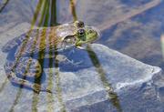 10th Jun 2021 - ~Bull Frog~