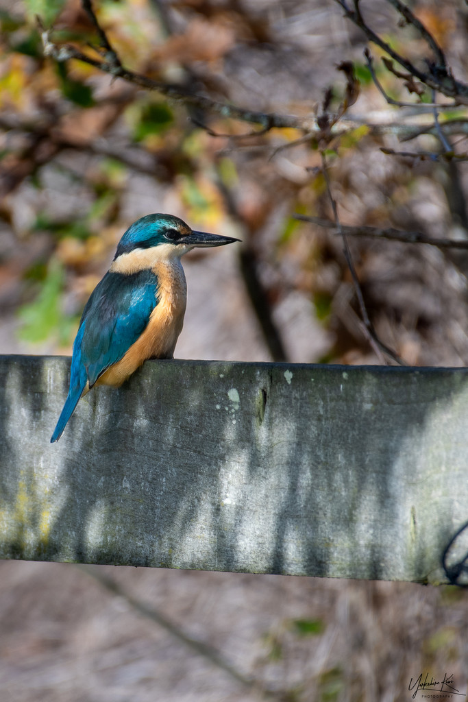 King fisher by yorkshirekiwi