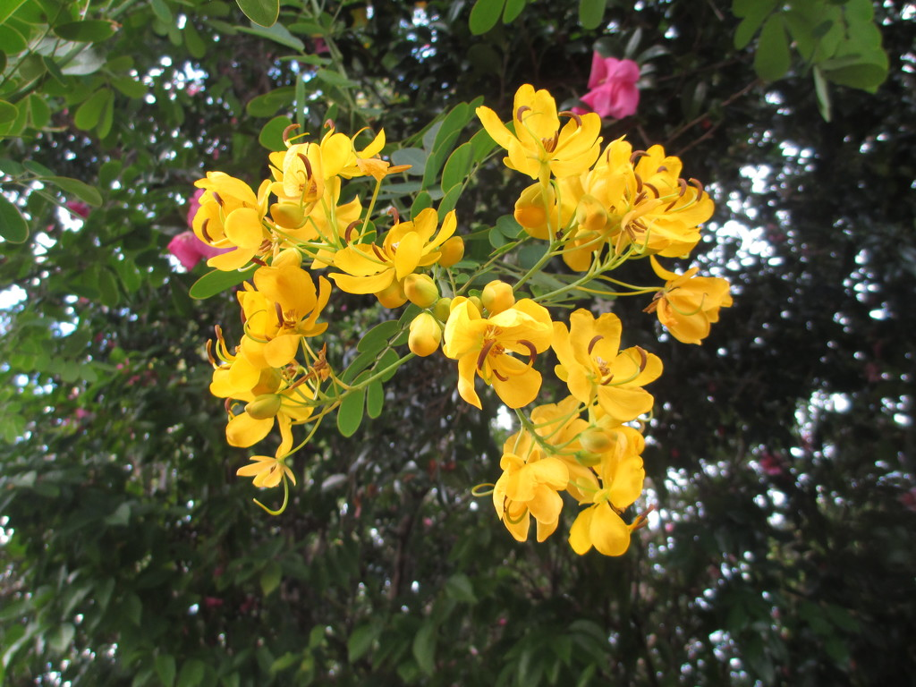 Easter Cassia, pretty, but known as a pest by 777margo