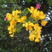 Easter Cassia, pretty, but known as a pest