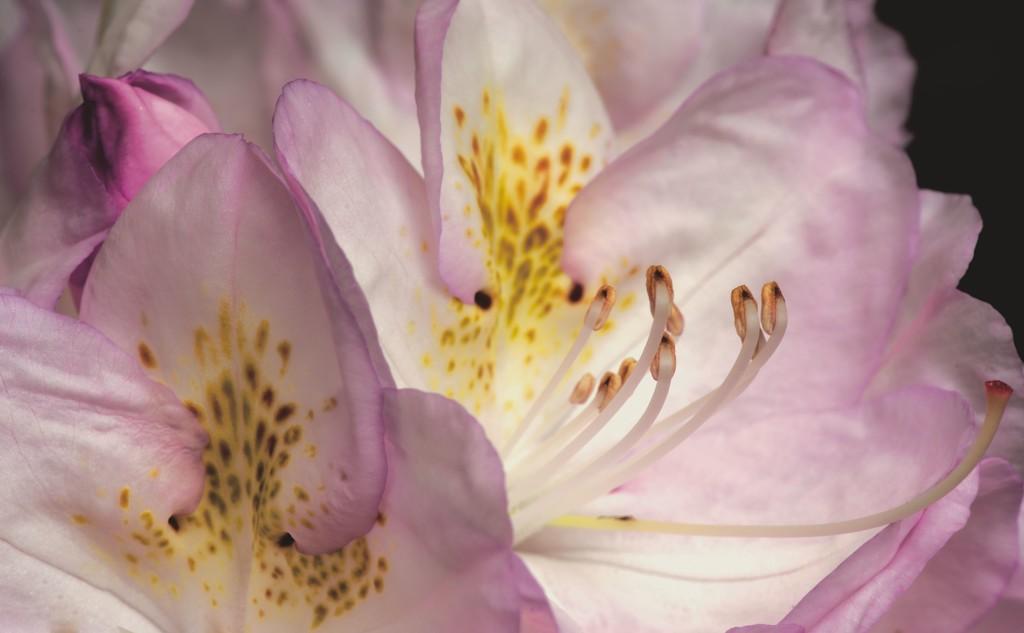 Rhododendron - Ericaceae by moonbi