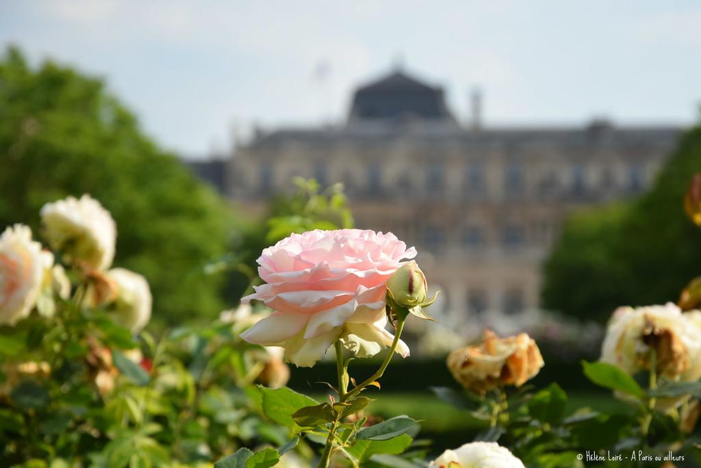 Roses by parisouailleurs