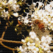 Painted bee on the ligustrum...
