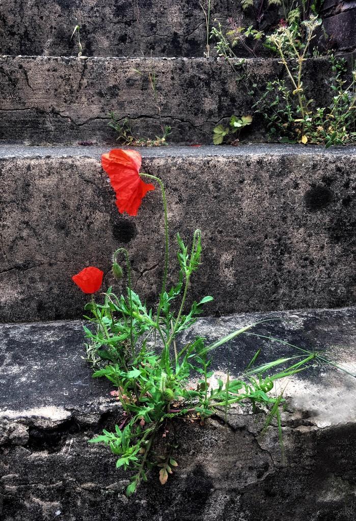 Poppy on steps by pattyblue