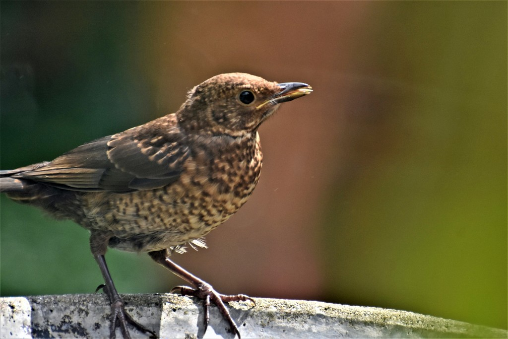 Young blackbird by rosiekind