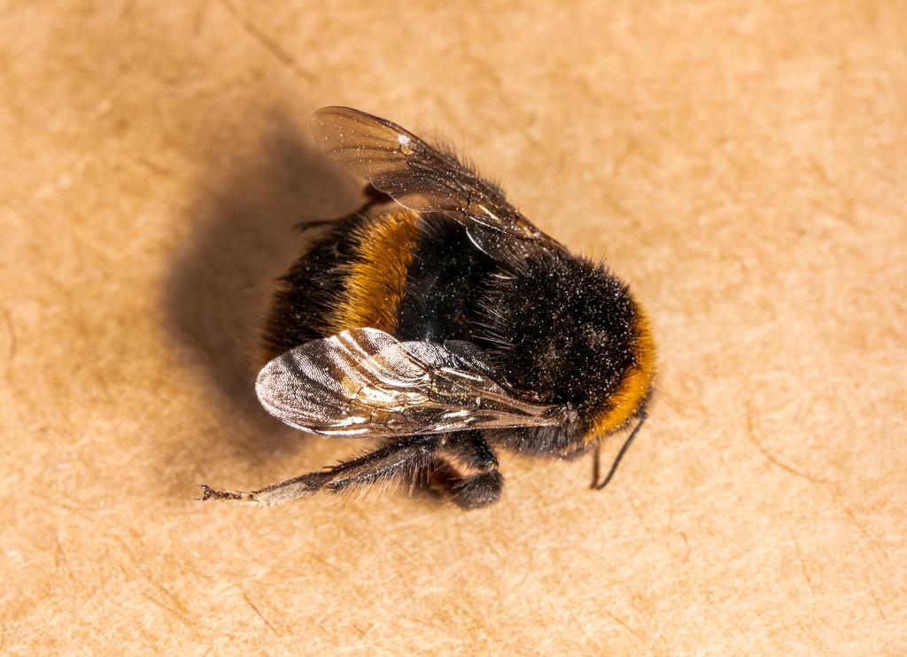 Bee by humphreyhippo