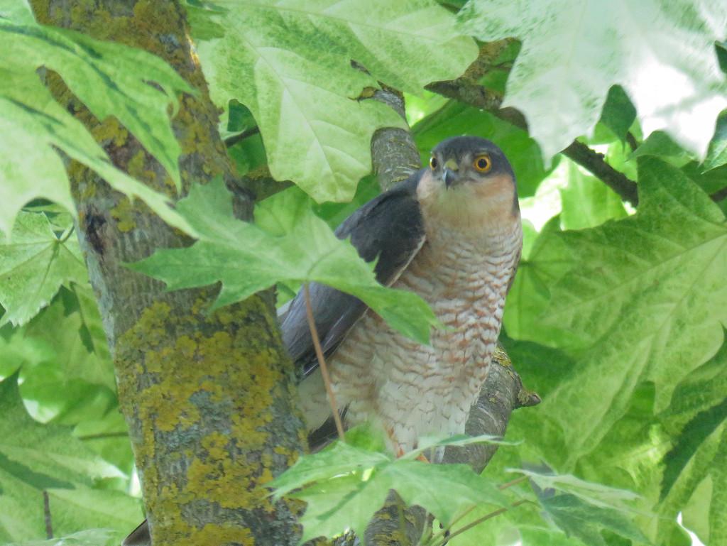 Sparrowhawk by phil_sandford