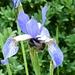 Bee on Iris