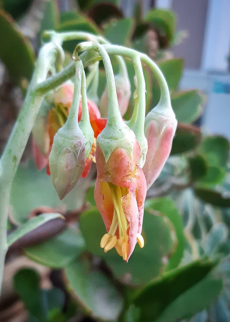 Pig's Ear Flower  by salza